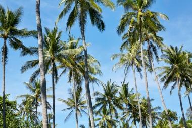 beach club coconut palms.tif