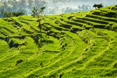 ricefields.tif